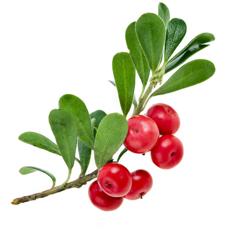 bear berry: Bearberry   Arctostaphylos Officinalis   on white