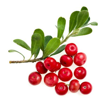 Bearberry makro Arctostaphylos Officinalis isoliert auf weiß