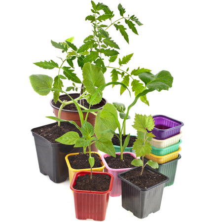 Young Seedlings Sprouts and colored pots isolated on white background photo