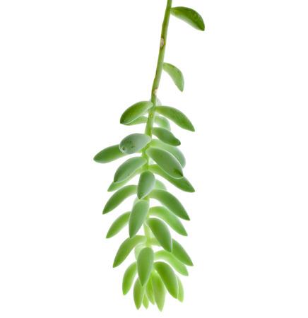 Sedum morganianum plant isolated on white background photo