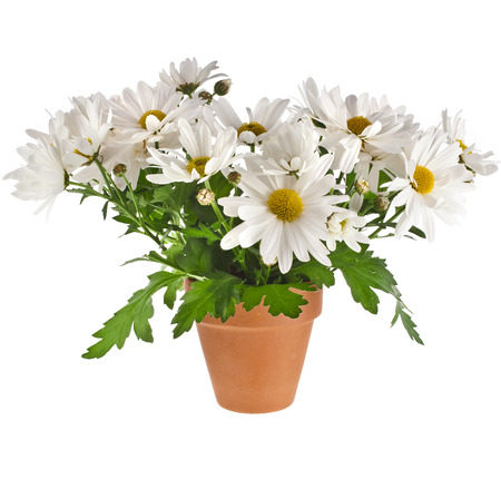 margarite: bouquet of beautiful chrysanthemum daisies flowers in a clay pot isolated on a white background