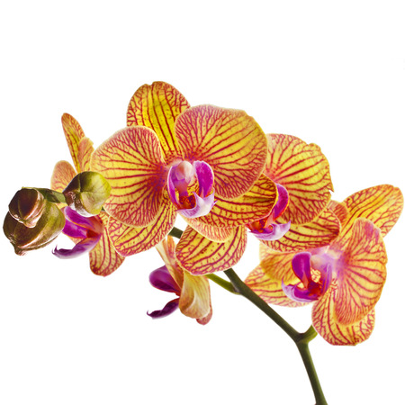 red orchid: Beautiful colorful flower Orchid, phalaenopsis close up isolated on white background
