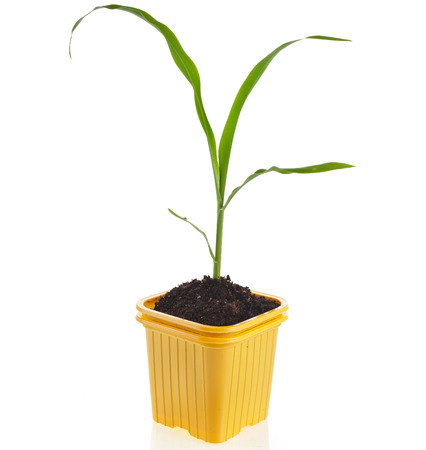 corn seedlings in a disposable yellow plastic flowerpot isolated on white background photo