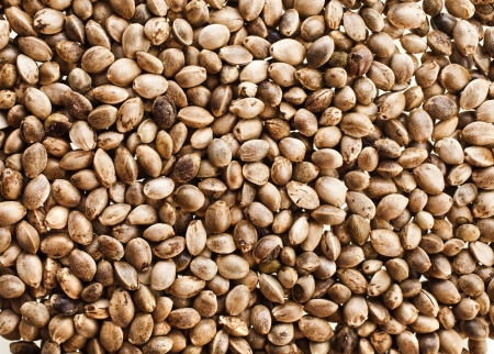 hemp hemp seed: Cannabis Hemp seeds close up surface top view background