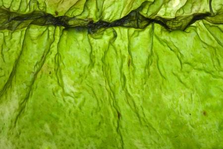 alga marina: laminaria algas kelp superficie vista superior de cerca de disparo macro textura de fondo Foto de archivo