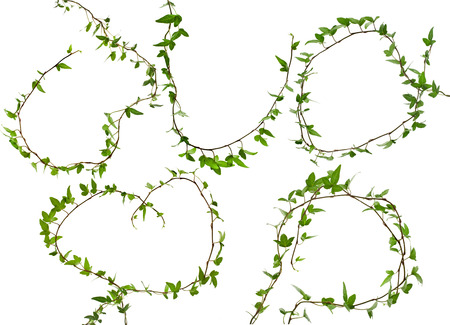 ivy wall: Green ivy branch plant set close up isolated on white background