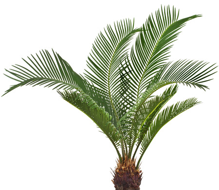 cycas: One Palm tree cycas revoluta isolated on white background