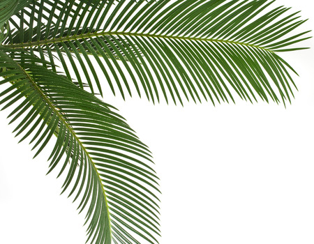 foliage frond: Green leaf of palm tree , border frame , on white background