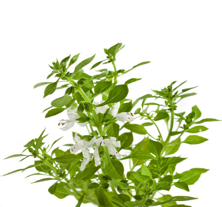 Green fresh basil flowering close up macro isolated on white background photo