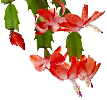cactus species: Blooming especies Christmas Cactus Schlumbergera aislados sobre fondo blanco Foto de archivo