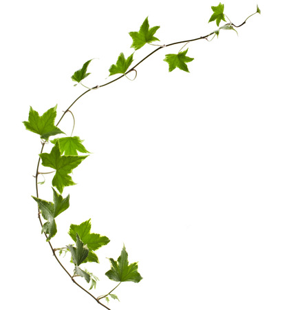 climbing plant: Green ivy plant Hedera helix close up isolated on white background