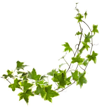 vid: Planta verde de la hiedra Hedera helix cerca aisladas sobre fondo blanco