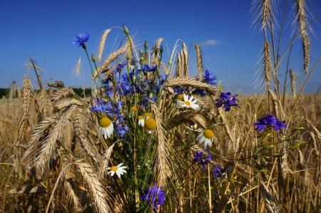 Rye field on a blue sky  photo