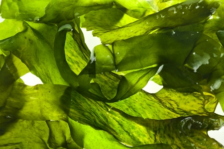 seetang: Seetang Laminaria-Algen nassen Oberfl�che Nahaufnahme Makro Schuss Textur