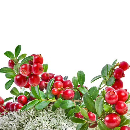 Cranberries in Northern Reindeer Lichen close up isolated on white  photo