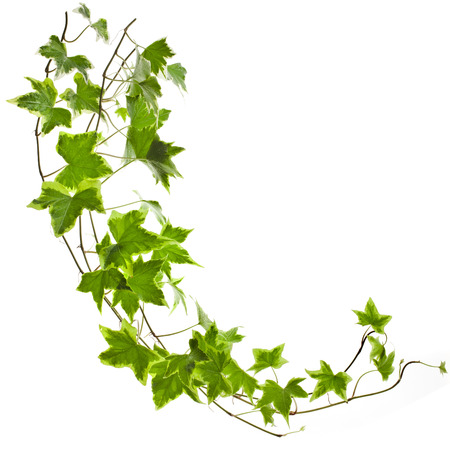 Groene klimop planten Hedera helix close-up geïsoleerd op wit