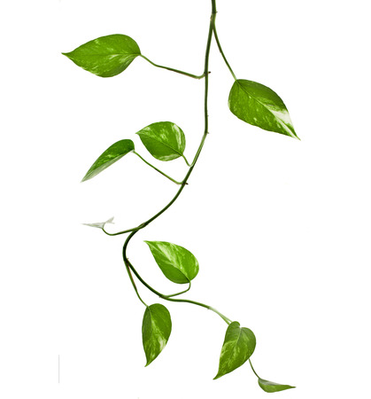 plant epipremnum scindapsus close up isolated on white