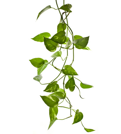 creepers: plant epipremnum scindapsus close up isolated on white