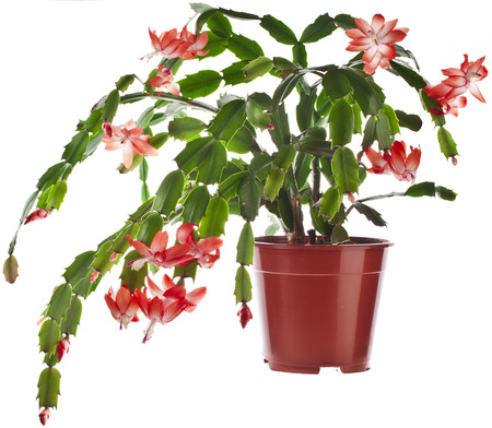 potted plant cactus: Blooming Christmas Cactus  Schlumbergera species  in flowerpot isolated on white
