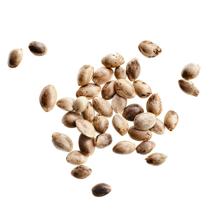 feed up: Cannabis Hemp seeds close up macro shot isolated on white