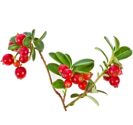 Cowberry Lingonberry  Vaccinium vitis-idaea  isolated on white background photo