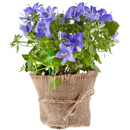 bunch bouquet of bluebell flowers for Valentine s Day isolated on white background photo