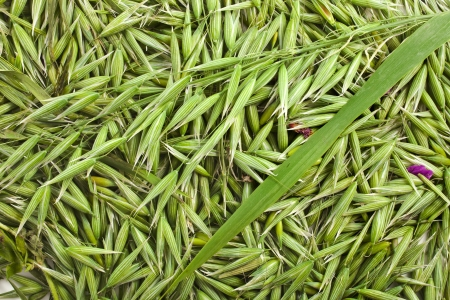 oat seeds top view surface texture close up background photo