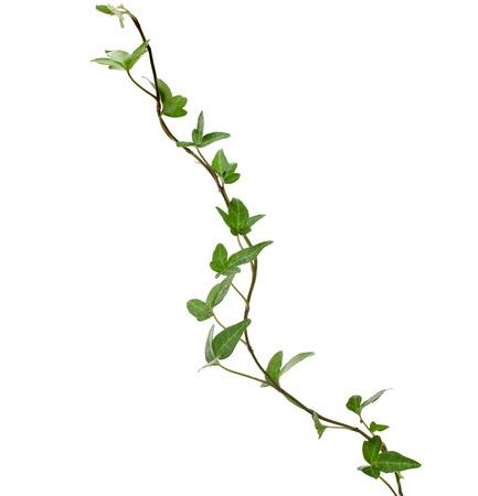 緑のツタ植物をクローズ アップで孤立した白い背景