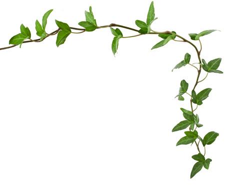 vid: Frame Frontera hecha de planta trepadora verde, forma de corazón, aislado en fondo blanco Foto de archivo