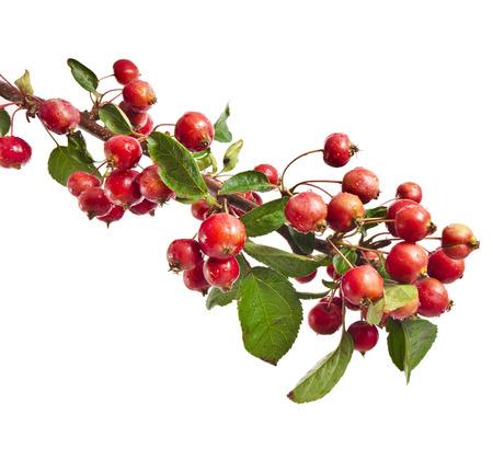 Rote Äpfel auf einem Zweig isoliert auf weißem Hintergrund Standard-Bild - 24704254