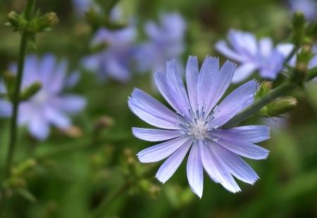 chicory flower:     Close up Blue Chicory flower  Cichorium intybus