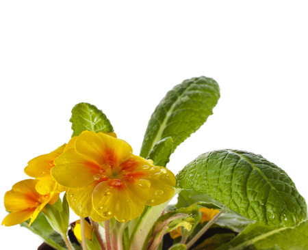 Yellow blossom of primula flower with water drops close up, isolated on white  photo