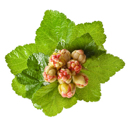 rubus: fresh cloudberry   Rubus chamaemorus  isolated on white  Stock Photo