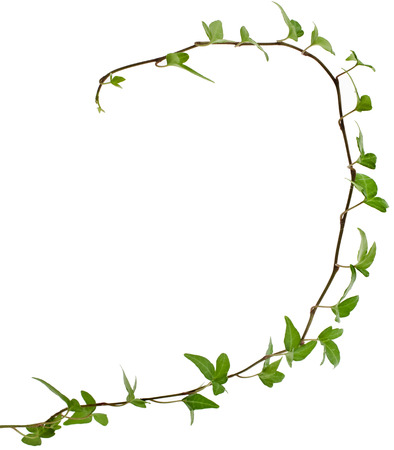 climbing plant: Border Frame made of Green climbing plant, shape heart , isolated on white background