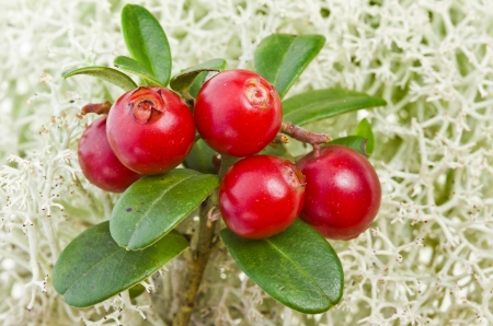 Cranberry Cowberry bush close up on Moss Reindeer surface photo