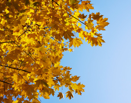 sycamore:        border frame of colorful autumn leaves on bly sky                         Stock Photo