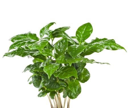 cafe colombiano: Hojas verdes del café Arábica en Plant Flower Pot aislados sobre fondo blanco