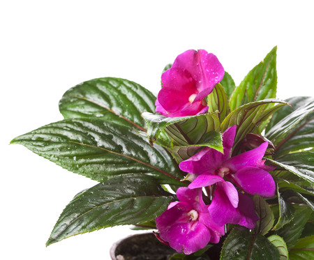 lizzie: Impatiens flower in a pot isolated on white Stock Photo