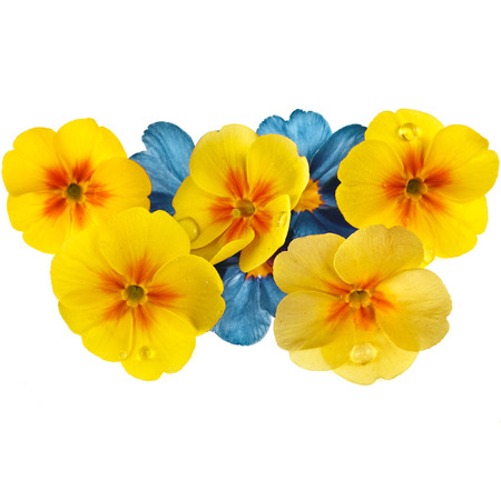 polyanthus: Colorful blooming primrose primula polyanthus isolated on white