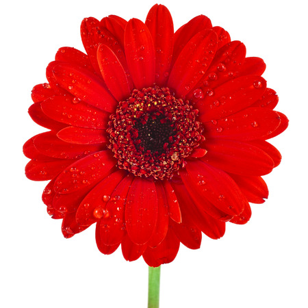 Gerbera flower head surface close up with water drop isolated on white background photo