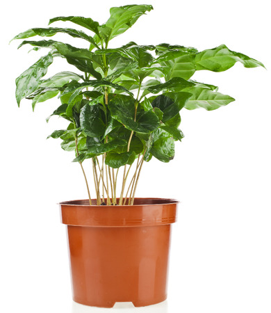 Green Leaves Coffee Arabica Plant in Flower Pot isolated on white background photo