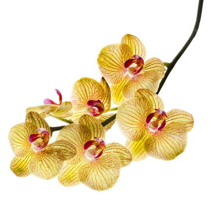 Beautiful Flower Orchid branch close up isolated on white background photo