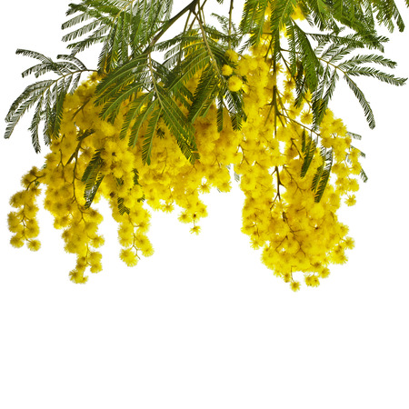branch mimosa acacia flowers isolated on white background Banco de Imagens