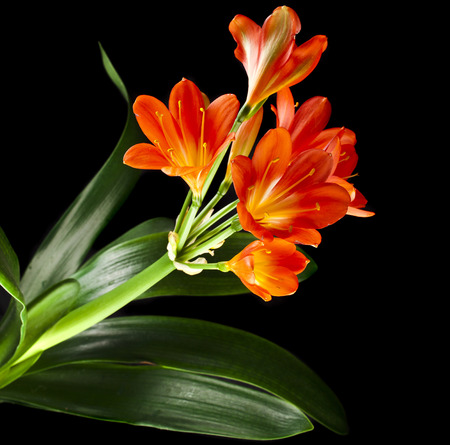 catchy: orange color flowers of lily of clivia kind isolated on black background