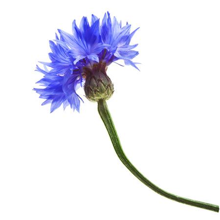 One Single Cornflower Close up macro isolated on white background