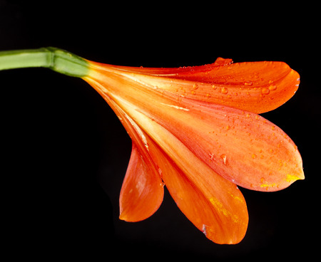 catchy: single flower head bud of lily clivia kind close up macro shot isolated on black background