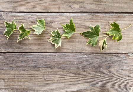 Green ivy plant Hedera helix close up in wooden surface background with copy space photo