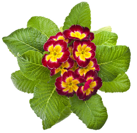 polyanthus: blooming primrose primula polyanthus in flowerpot isolated on white