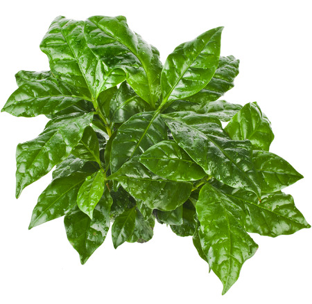 coffee plant: Green Leaves Coffee Arabica Plant Top View isolated on white background