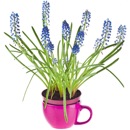 Blue Spring flowers Muscari in clay flowerpot Isolated on white background photo